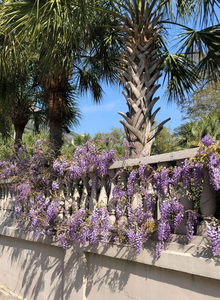 Wisteria blooming in Charleston, SC.